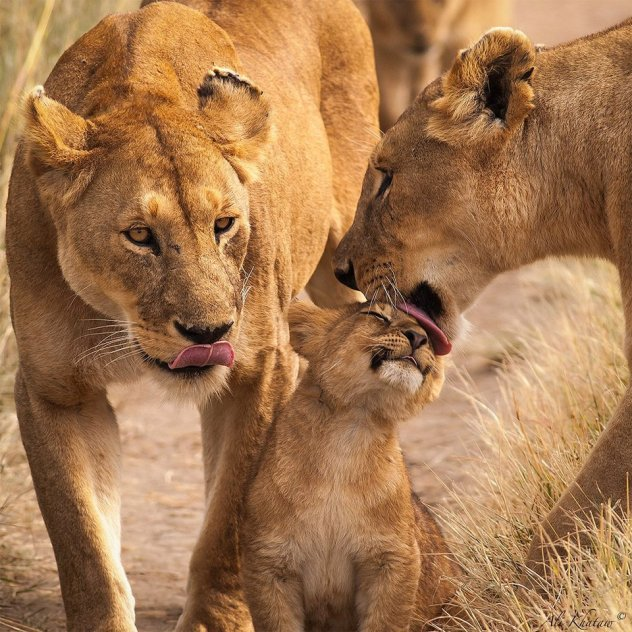 family-of-lions-tanzania-photography-by-ali-khataw